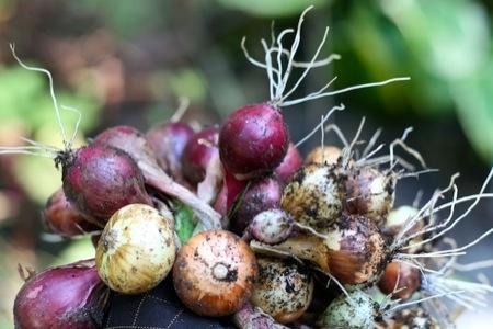 Onions_harvest