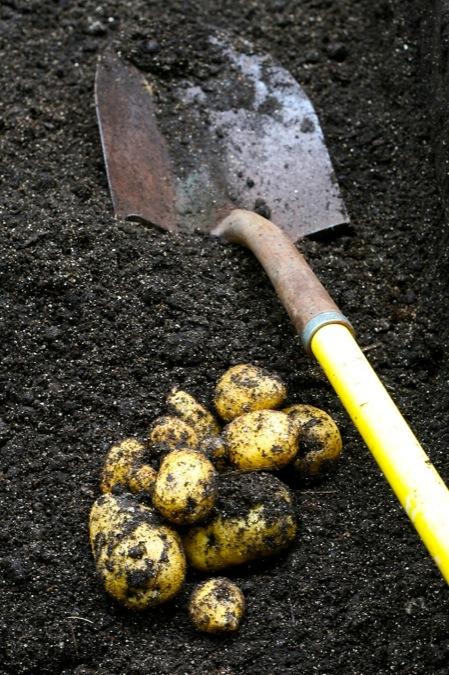 harvesting_potatoes