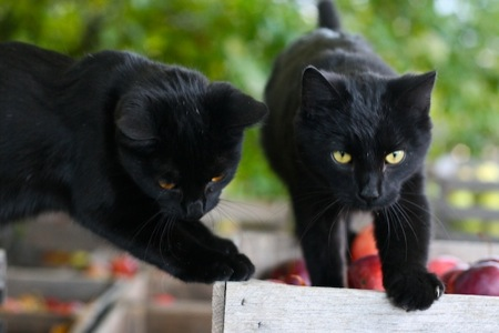 two_black_cats