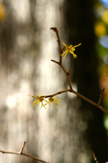 Native_Witch_Hazel_blooming
