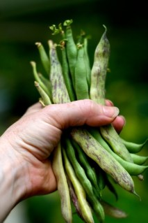 green_beans_in_hand