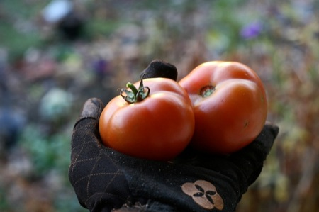 tomatoes_in_Ethel_gloves