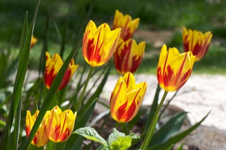 mickey_mouse_tulips