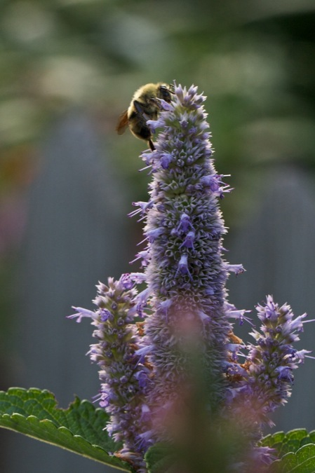 bee_on_hyssop