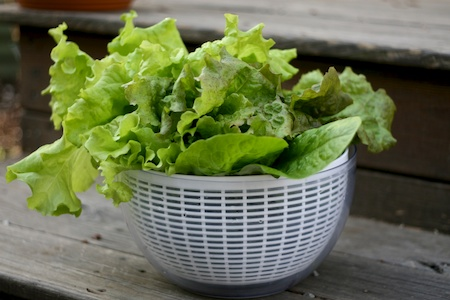 Freshly_picked_lettuce