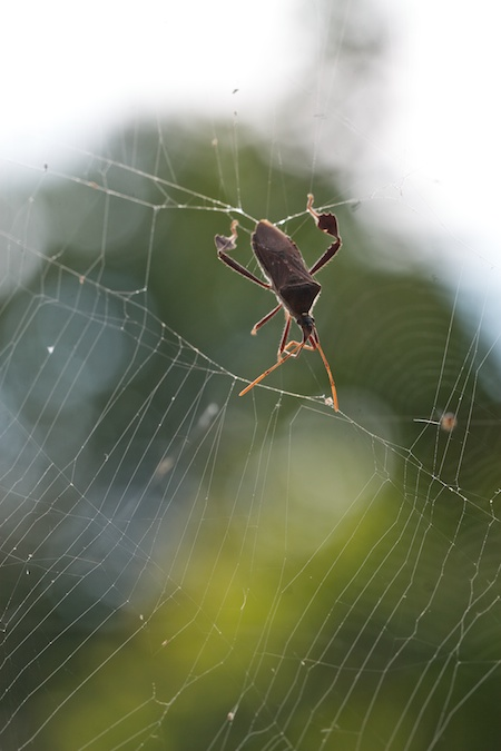 squash_Bug_in_spider_web