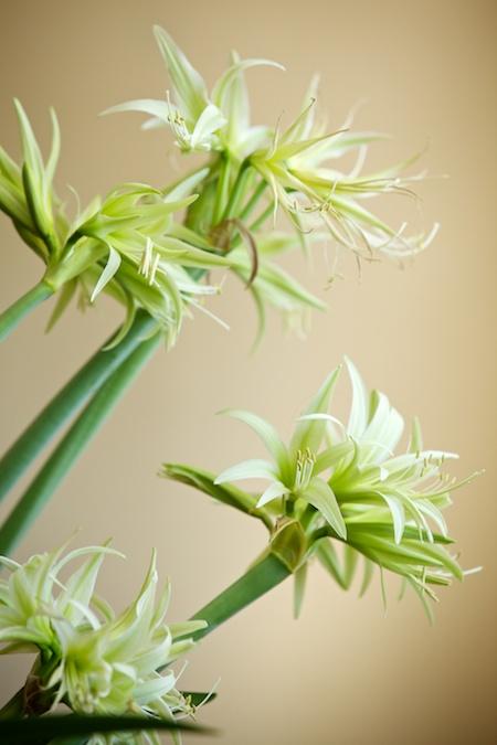 green dragon amaryllis 1