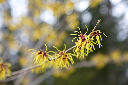 Witch Hazel Bernstein 1