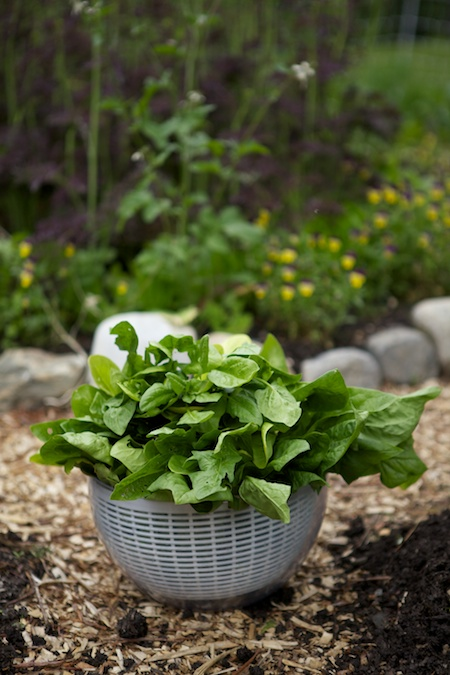spinach harvest 1