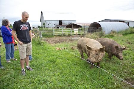 Tamworth Pigs 1