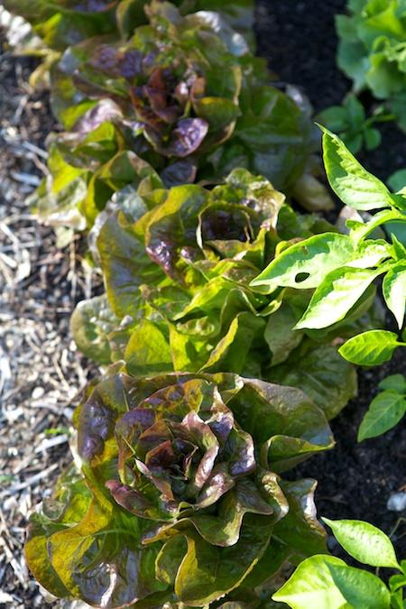 Roxy Lettuce 2