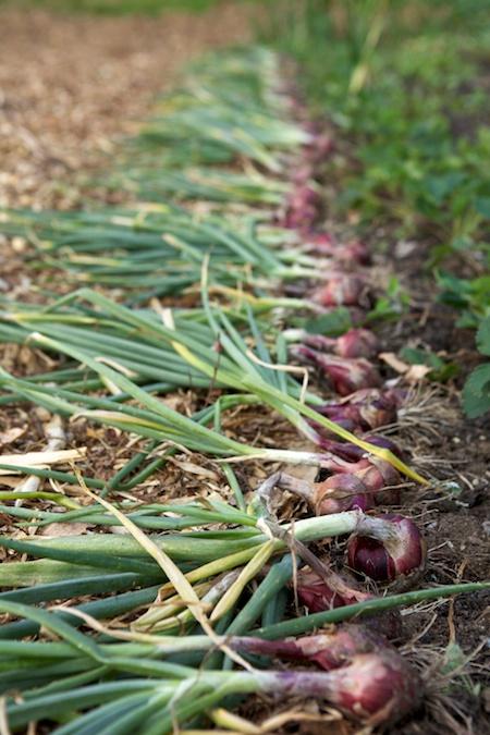Onion Harvest 4