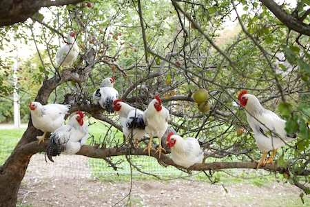 chickens in apple tree 4