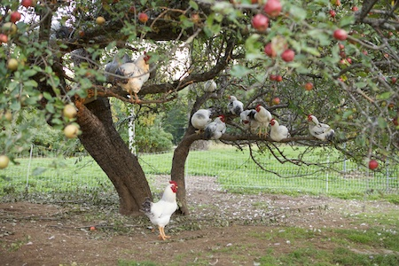 chickens in apple tree 5