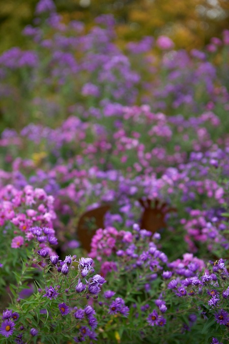 New England Asters 3