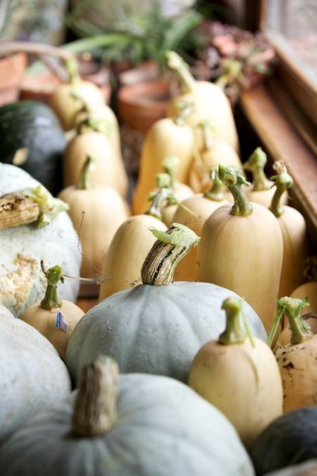 squash harvest 1