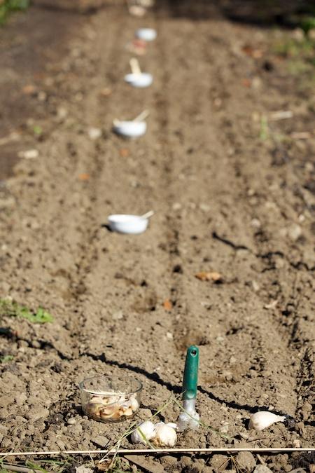Planting Garlic 3