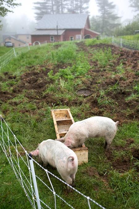 pigs tilling