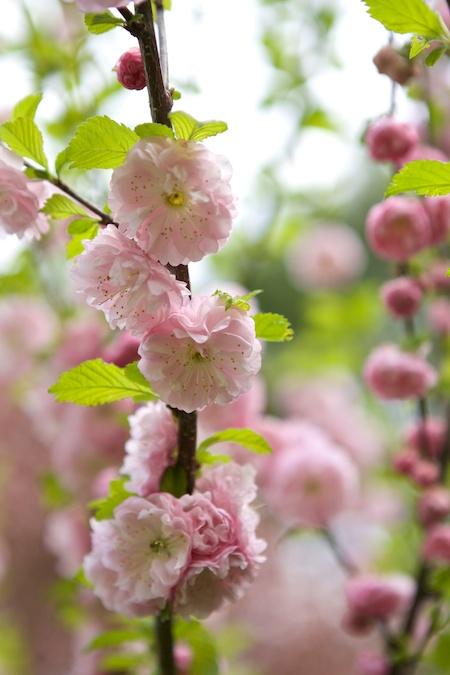 Flowering Almond 1