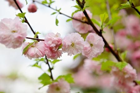 Flowering Almond 3