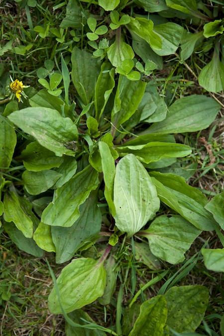 plantain 1