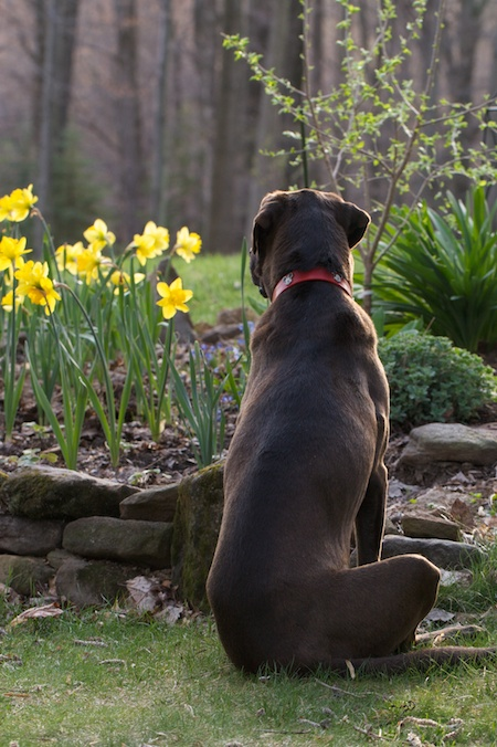 Lucy & Daffodils