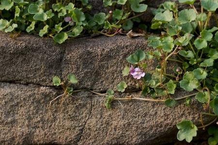 kenilworth ivy 1