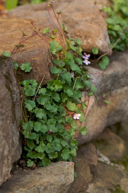 kenilworth ivy 2