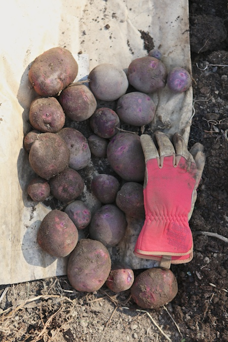 potato harvest 2