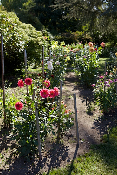 Dahlias at Volunteer Park 1