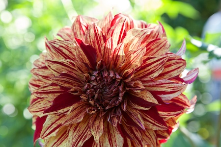 Dahlias at Volunteer Park 6