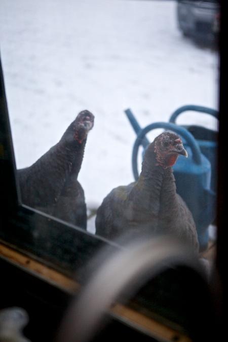 Turkeys (1)