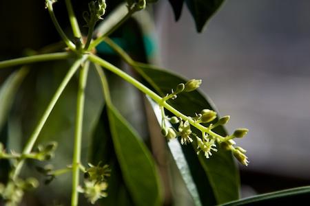 Day Avocado tree 2