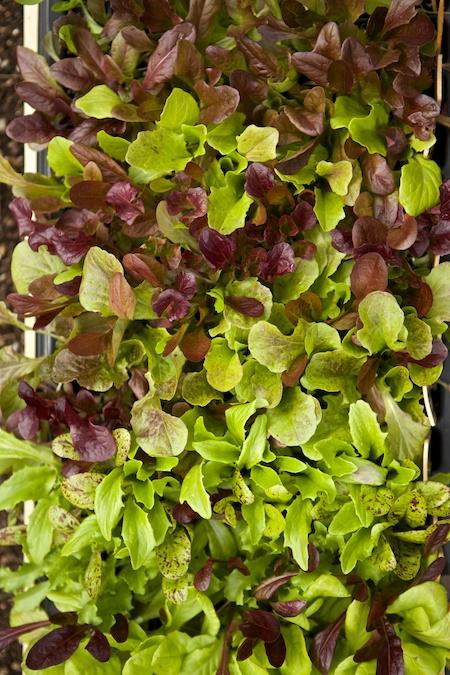 lotsa lettuce 2
