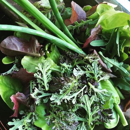 freshly harvested lettuce from the garden