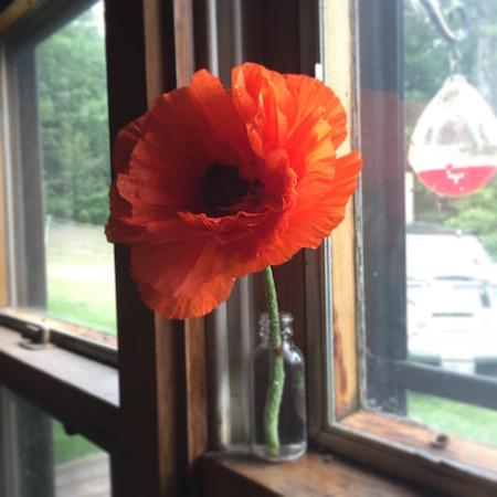 Poppy in vase