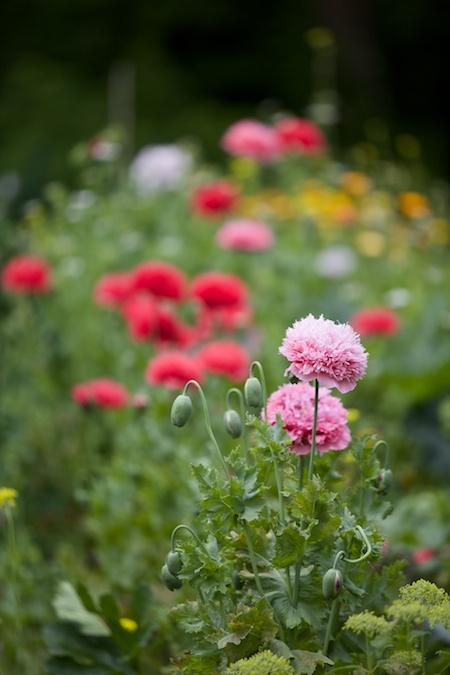 peony poppies 3