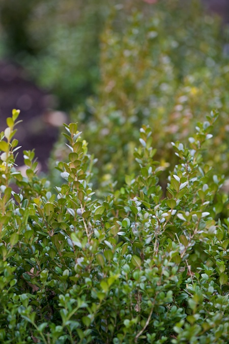 boxwood hedge 4