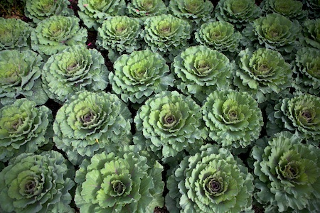 mass planting of ornamental cabbage 1