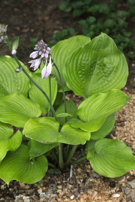 Heavenly hostas 4
