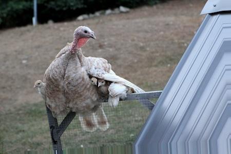 Turkey mama