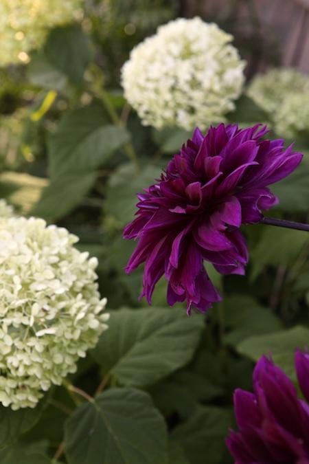 dahlia and hydrangea 3
