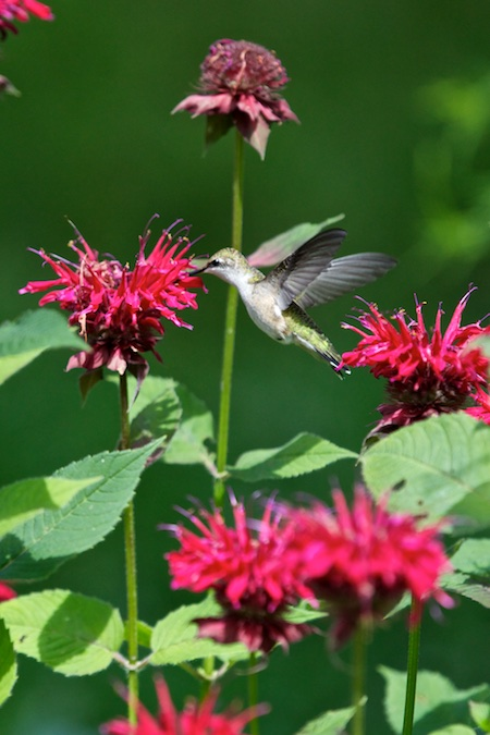 hummingbird on monarda (1)