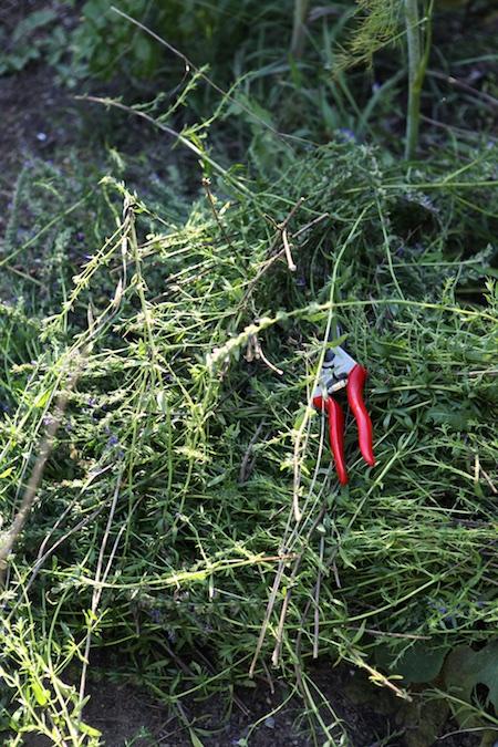 pruning perennial herbs 1