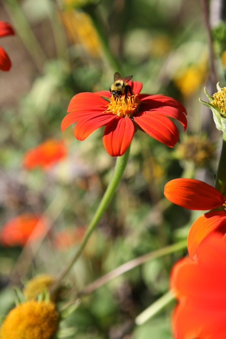 bumble-bee-on-tithonia-blossom
