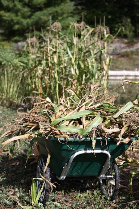 harvesting-popcorn-1