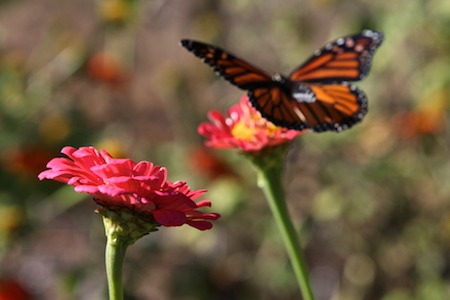 monarch-on-zinnia-2