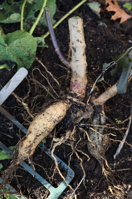digging-up-dahlia-tubers-3