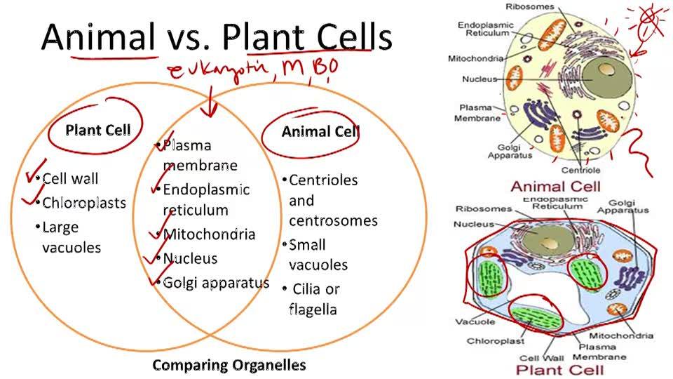 Prokaryotic And Eukaryotic Cells Video Biology Ck