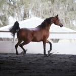 Arabian Horse Days At Wilson Training Center Arabian Horses Stallions Farms Arabians For Sale Arabian Horse Network Www Arabhorse Com